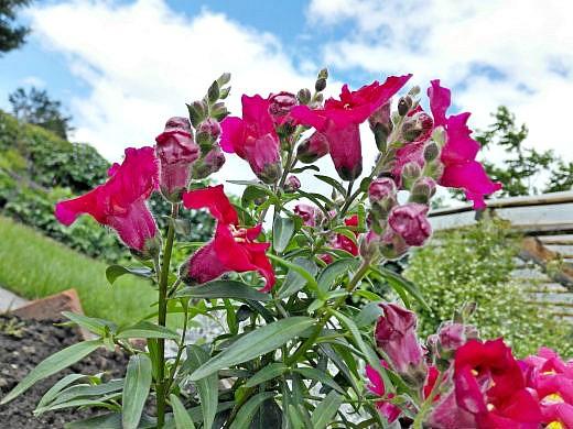 цветы на фоне неба и облаков фото 10 - львиный зев низкорослый, красный
