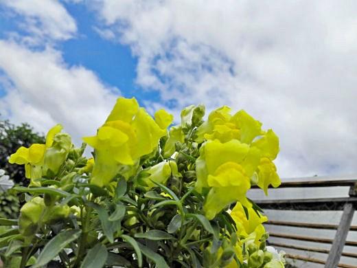 цветы на фоне неба и облаков фото 11 - львиный зев низкорослый, желтый