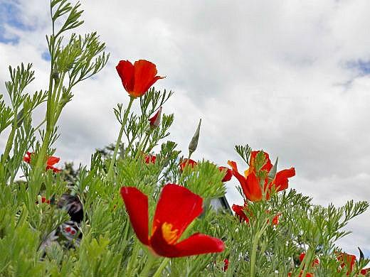 цветы на фоне неба и облаков фото 12 - эшшольция калифорнийская (красная королева)