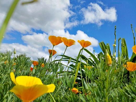 цветы на фоне неба и облаков фото 13 - эшшольция калифорнийская, желтая королева