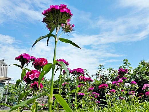 цветы на фоне неба и облаков фото 16 - турецкая гвоздика