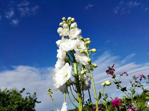 цветы на фоне неба и облаков фото 18 - дельфиниум высокорослый, белый