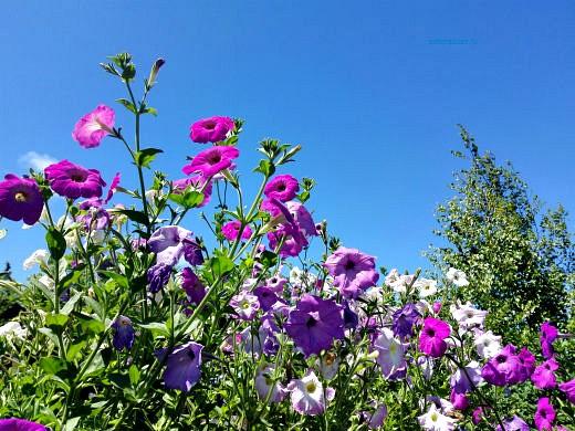 цветы на фоне неба и облаков фото 19 - петуния простая