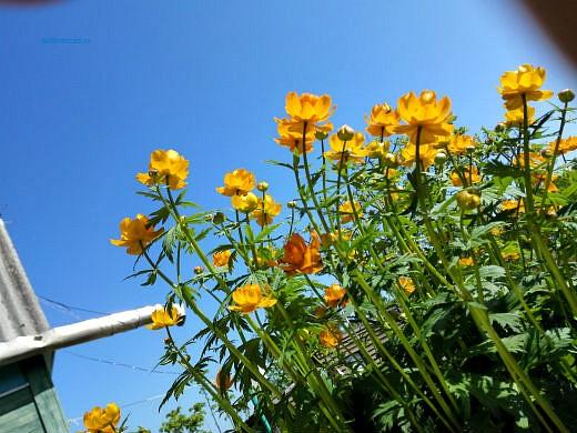 цветы на фоне неба и облаков фото 2 - жарки