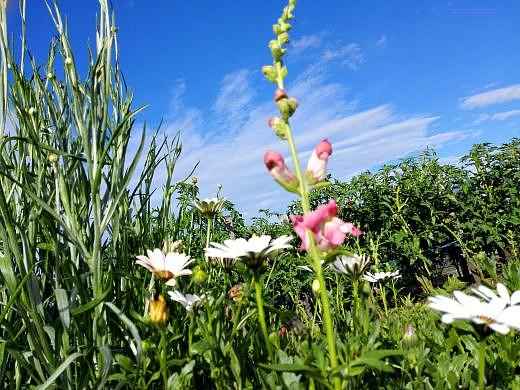 цветы на фоне неба и облаков фото 20 - львиный зев и диморфотека