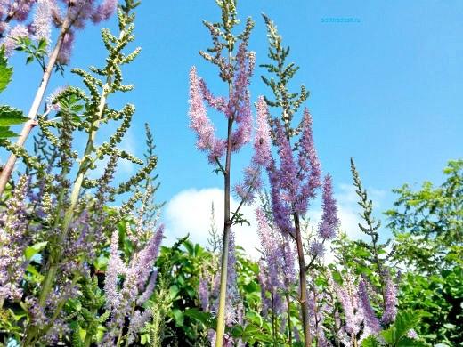 цветы на фоне неба и облаков фото 21 - астильба