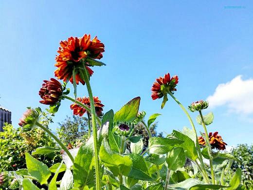 цветы на фоне неба и облаков фото 22 - рудбекия