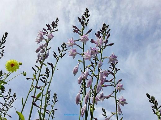 цветы на фоне неба и облаков фото 26 - хоста