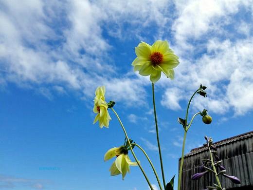 цветы на фоне неба и облаков фото 27 - георгин пионовидный желтый