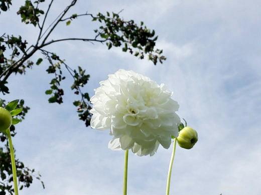 цветы на фоне неба и облаков фото 28 - многолетние георгины шаровидные далии