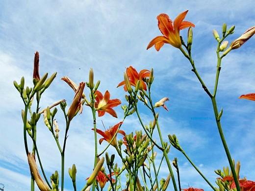 цветы на фоне неба и облаков фото 29 - лилейник красный