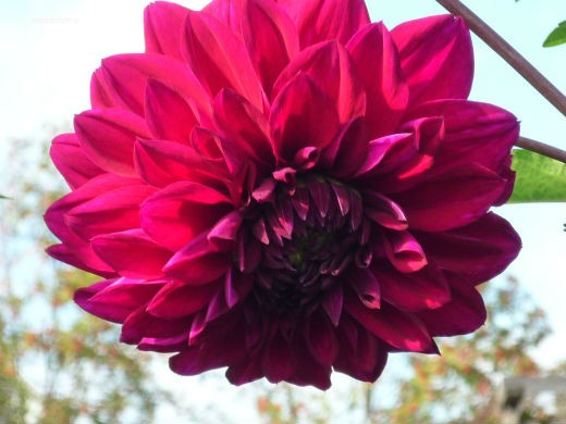 цветы на фоне неба и облаков фото 32 - георгин многолетний нимфейный красный