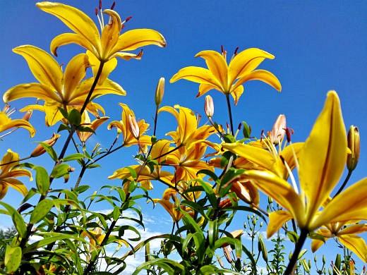 цветы на фоне неба и облаков фото 33 - лилии желтые