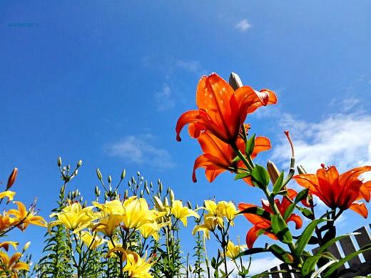 цветы на фоне неба и облаков фото 34 - лилии красные и лимонные
