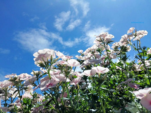цветы на фоне неба и облаков фото 35 - флокс однолетний простой