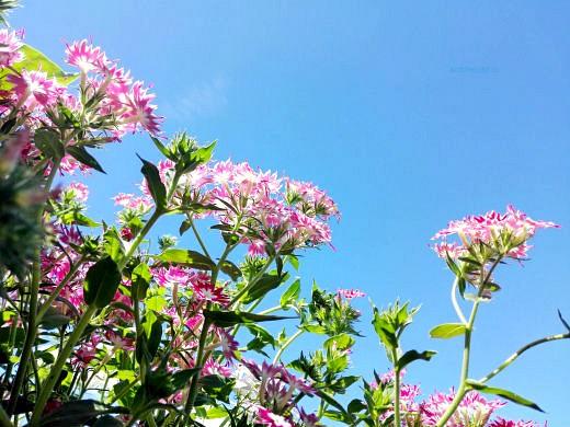 цветы на фоне неба и облаков фото 36 - флокс друммонда однолетний