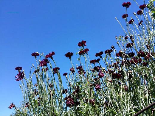 цветы на фоне неба и облаков фото 37 - василек черный