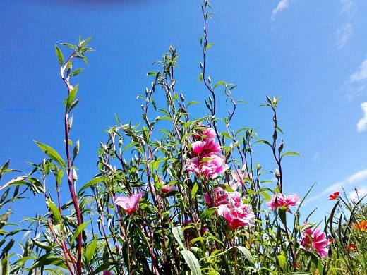 цветы на фоне неба и облаков фото 38 - годеция розовая
