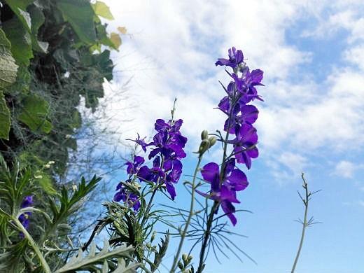 цветы на фоне неба и облаков фото 39 - дельфиниум синий