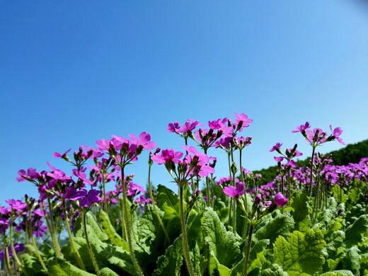 цветы на фоне неба и облаков фото 4 - примулы