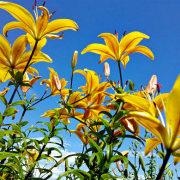 цветы на фоне неба и облаков фото 40 - лилии желтые
