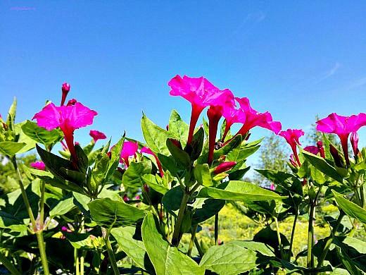цветы на фоне неба и облаков фото 43 - мирабилис красный