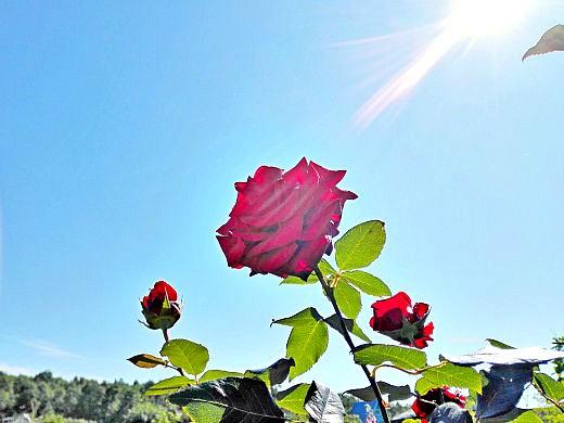цветы на фоне неба и облаков фото 44 - роза красная