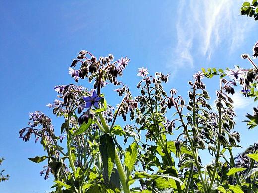 цветы на фоне неба и облаков фото 45 - огуречная трава (бораго)