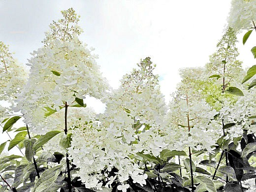 цветы на фоне неба и облаков фото 46 - гортензия белая