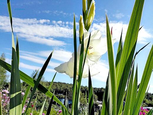 цветы на фоне неба и облаков фото 47 - гладиолус белый