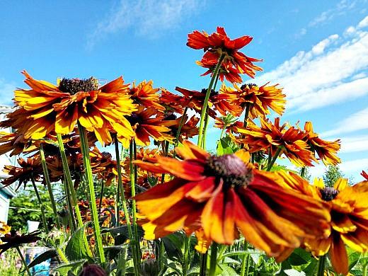 цветы на фоне неба и облаков фото 48 - рудбекия жёлто-коричневая