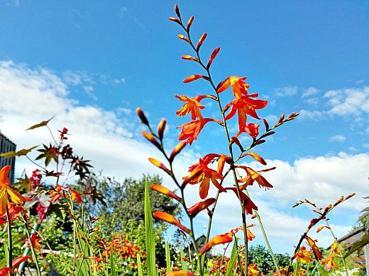 цветы на фоне неба и облаков фото 49 - крокосмия (японский гладиолус, монтбреция)