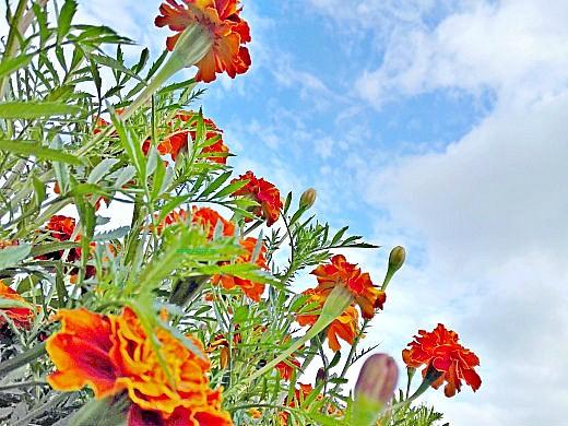 цветы на фоне неба и облаков фото 50 - бархатцы