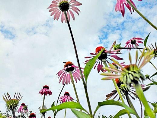 цветы на фоне неба и облаков фото 51 - эхинацея розовая