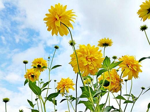 цветы на фоне неба и облаков фото 52 - рудбекия золотой шар