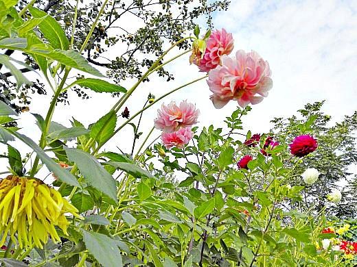 цветы на фоне неба и облаков фото 53 - георгины многолетние