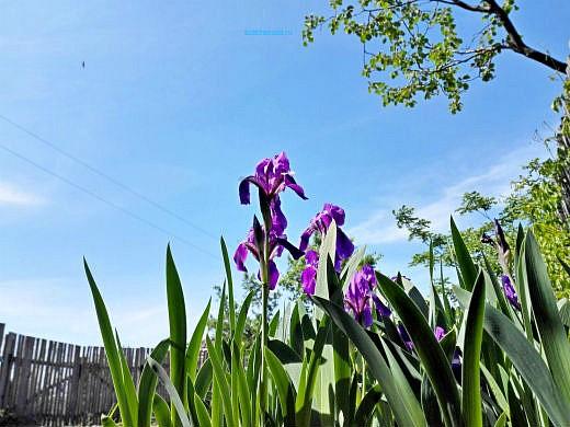 цветы на фоне неба и облаков фото 6 - ирисы