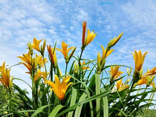 цветы на фоне неба и облаков фото 8 - лилейник желтый