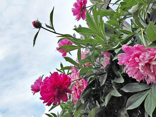 цветы на фоне неба и облаков фото 9 - пионы