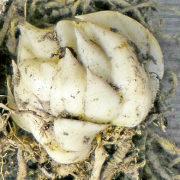 хранение луковиц лилий 2
