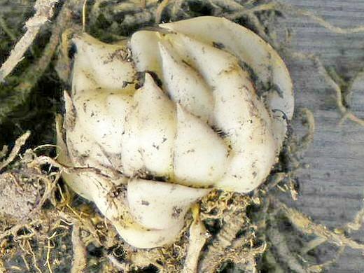 Хранение луковиц лилий
