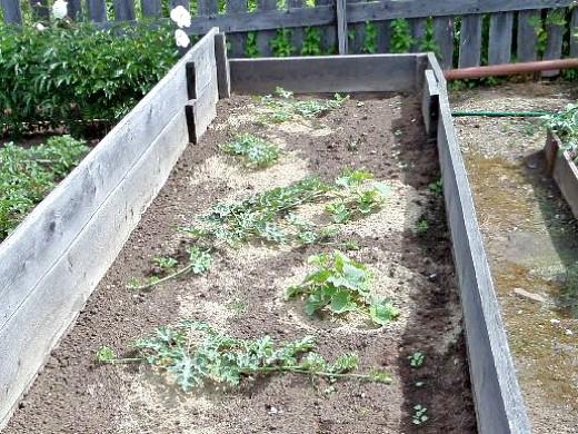 выращивание арбузов на дачном участке в сибири 1