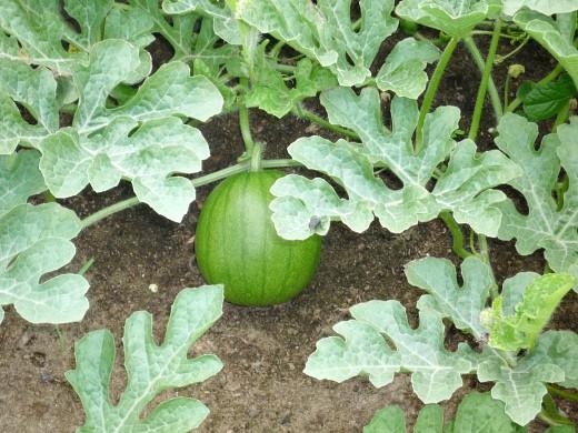 выращивание арбузов на дачном участке в сибири 2