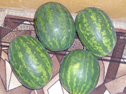 выращивание арбузов на дачном участке в сибири