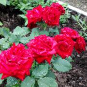 удобрения для роз весной, летом и осенью 7