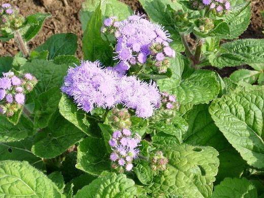 агератум, цветы для сада, фото и названия