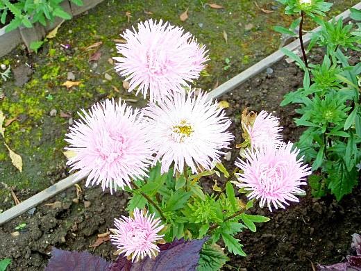 астра однолетняя, цветы для сада, фото и названия