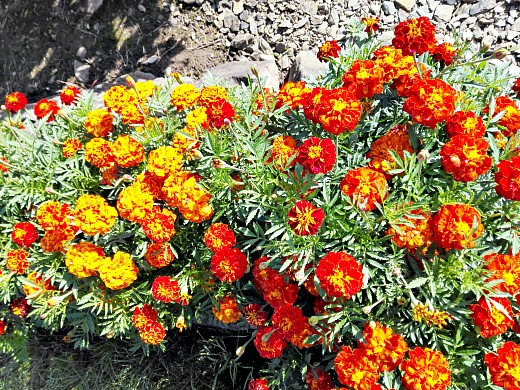 бархатцы, цветы для сада, фото и названия