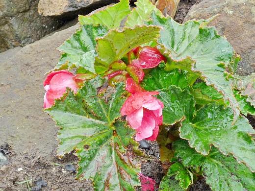 бегония, цветы для сада, фото и названия