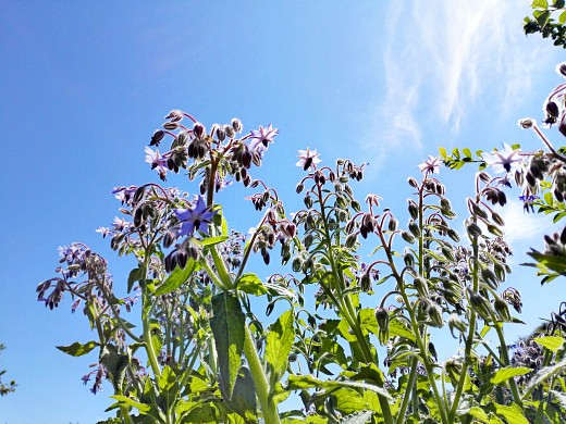 бораго (огуречная трава), цветы для сада, фото и названия